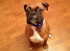 AJ is an adoptable Boxer Dog in Hickory, NC. Age: Turns 3 June 9, 2012  Weight: 53 HW Status: neg Good with male dogs: yes Good with female dogs: yes Good with small dogs: yes Good with cats: unknown ...