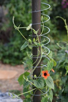 Slinky Hack and Trellis for a Favorite Flowering Vine Slinky Hack and Tr. Slinky Hack and Trellis for a Favorite Flowering Vine Slinky Hack and Trellis for a Favorit Garden Vines, Plants, Flowering Vines, Summer Vine, Flowers, Garden Trellis, Diy Garden, Garden Design, Garden Projects