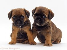 : Border Terrier puppies