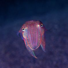 Cuttlefish ...........click here to find out more http://googydog.com