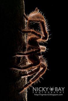 Tarantula (Phlogiellus sp.)