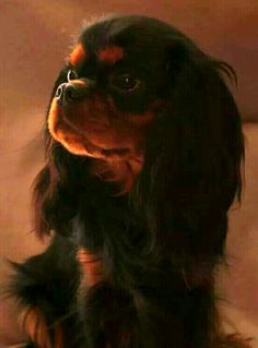 Glowing beauty - Cavalier King Charles Spaniel Outstanding photography that captures the elegance of this Black and Tan. Cavalier King Charles Dog, King Charles Spaniel, Big Dogs, I Love Dogs, Cocker Spaniel Dog, Dog Rules, Dog Breeds, Dog Cat, Puppies