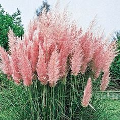 Pink Pampas Grass, Cortaderia selloana 'Rosea', is celebrated for its stunning pink tufts of large silky flower heads. The coveted plumes are often used in drie