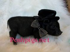 texas tiny pigs | PIG, TEACUP PIGS FOR SALE, MINI PIGS, JULIANA PIGS!! in Dallas, Texas ...