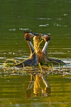 """Ceremonial dance""  Great Crested Grebe (Podiceps cristatus), Lake Kerkini, Greece, Europe  © Konstantinos Arvanitopoulos Photography. All Rights Reserved."