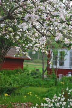 Cherry blossoms on a May afternoon in Sweden.