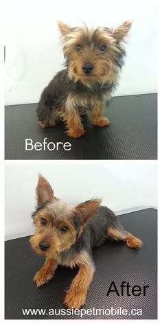 Groomed by our North Shore Team Aussie!   Meet Jaspar! http://www.aussiepetmobile.ca/northshore/
