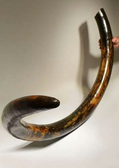European Wooly Mammoth tusk