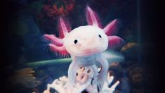 """Axolotl The axolotl, also known as a Mexican salamander or a Mexican walking fish, is a neotenic salamander, closely related to the tiger salamander. Although the axolotl is colloquially known as a """"walking fish"""", it is not a fish, but an amphibian"""
