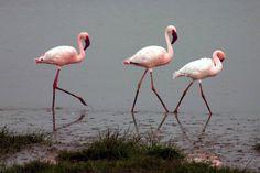 Lesser-Flamingo-Wallpapers9.jpg (2248×1502)