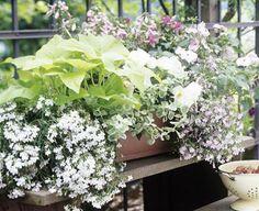 Weiße Blüten und helle Blätter: Helle Farben lassen den Schatten aufblühen.     2 x Lobelie (Lobelia)     1 x Süßkartoffel (Ipomea batata)     1 x Rundes Silberblatt (Helichrysum petiolare)     1 x Begonie (Begonia)     2 x Fuchsie (Fuchsia)     1 x Fleißiges Lieschen (Impatiens)