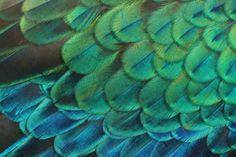 Groene Pauw (Pavo muticus)