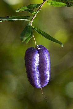 Purple apple berry