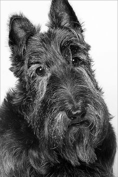 Super Scottie by Piotr Organa, via Flickr