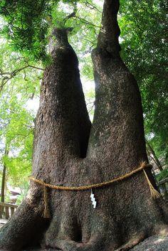 Big forked camphor tree at Izanagi shrine, Awaji island, Japan