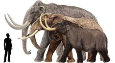 Columbian mammoth (largest), African elephant (medium) and American mastodon