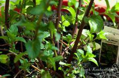 Wild Urban Gardening ·Teil 3 | Mizzis Küchenblock ·Minze nach vier Wochen