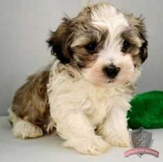 Havanese puppy - Chad