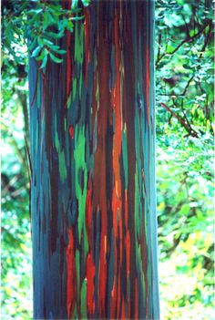 This would make for some stunning color in my garden!! The trees shed multiple patches of bark every year, but not at the same time. As the patches are gone, the green inner bark is exposed, and, as it matures, every new patch first turns bluish, then orange, purple and maroon. This creates the rainbow  effect. #colorevolution