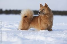 Finnish Spitz. I want to have one!