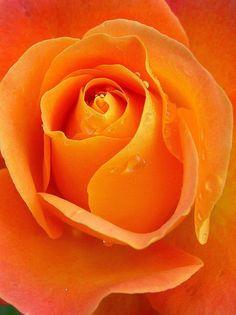 bloom raindrops apricot rose flower orange