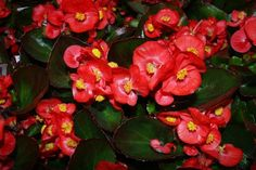 Begonia 'Green Leaf' Red:  Use Begonias in containers and hanging baskets, as well as in mixed plantings and as edging.