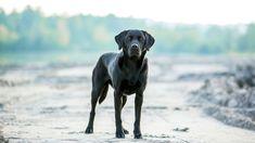 #animal #best friend of man #dog #labrador #outdoor #pet #portrait #race #view