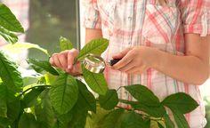 Beim Einräumen der Kübelpflanzen schleppt man oft unerwünschte Überwinterungsgäste ein. Winter-Schädlinge wie Schildläuse, Wollläuse und Weiße Fliegen machen den Kübelpflanzen das Leben noch schwerer, als es im Winterquartier ohnehin schon ist.