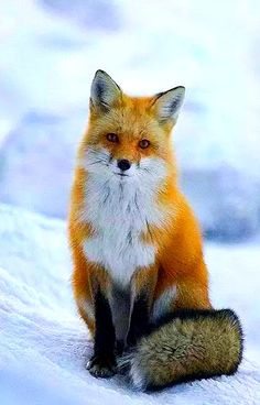 roter Fuchs - Frou Frou Foxes in Midsummer Fires - Animals Cute Little Animals, Cute Funny Animals, Funny Foxes, Nature Animals, Animals And Pets, Animals In Snow, Wild Animals, Pet Fox, Tier Fotos