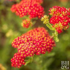 Perennials Not only does yarrow tolerate heat and drought like a champion, but this easy-growing perennial is also a great cut flower. - When summer heat kicks in, rely on these drought-tolerant plants to hold their own -- and still look beautiful. Growing Flowers, Cut Flowers, Colorful Flowers, Spring Flowers, Best Perennials, Flowers Perennials, Shade Perennials, Garden Shrubs, Garden Plants