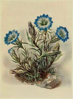 Plate from 'Alpine Plants. Alpine Flowers, Alpine Plants, Vintage Prints, Vintage Floral, Vintage Art, Seed Packaging, Vintage Drawing, Botanical Illustration, Botanical Prints