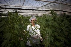 Canadians Want to Legalize Marijuana, Too | Weedist