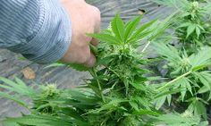 Supreme Court Date Set for Weed Growers
