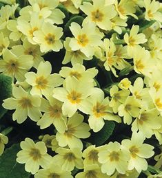 Buy Primula vulgaris (Wild Primrose) from Sarah Raven: No garden is complete without its primroses which start to flower in February and are happy in the shade, sun and even thrives in a moistish soil. Hardy Perennials, Flowers Perennials, Planting Flowers, Home Flowers, Spring Flowers, Beautiful Flowers, British Wild Flowers, Biennial Plants, Plant Delivery