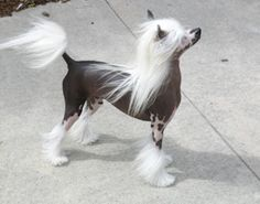 Altair Chinese Crested Dogs in Canada - Altair Chinese Crested Dogs: The Boys