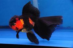 Red and black veil-tail oranda
