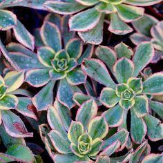 Sunburst Aeonium // #dallavita #aeonium #succulent