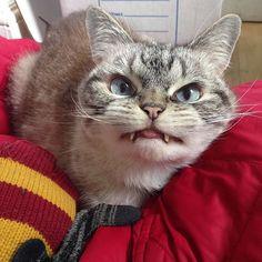 Derpin in your winter gear. Forgot it's summer ☀️❄️ #catstagram #catsagram #cat #cats #kitten #instacat  #catsofinstagram #catsoninstagram #pet #pets  #cute #cutecat  #instacat_meows #catoftheday #gato #cats_of_instagram  #cutepetclub #thedailykitten  #kittycat #catlover #ilovecats #caturday #meow #instacute #photooftheday #animaladdicts #nature_cuties #igcutest_animals