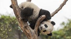 Pandas Eating Bamboo Wallpaper Animals Pinterest