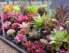 Bromeliads in Australia - tropical garden ideas Tropical Garden Design, Tropical Landscaping, Landscaping Plants, Tropical Plants, Tropical Flowers, Purple Flowers, Air Plants, Garden Plants, Indoor Plants