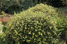 Potentilla fruticosa 'Primrose Beauty': x Full Sun, May to October Beth Chatto, Border Plants, Dry Garden, Primroses, Town And Country, Back Gardens, Yellow Flowers, Shrubs, Perennials