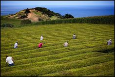 Gorreana Tea Estate: European Teas Grown in the Azores