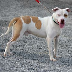 URGENT!!!! PLEASE HELP NUTLEY!!!! FOSTER/RESCUE/ADOPT ASAP!!!!! WARREN, OHIO>>>>Nutley is a wonderful dog....he was filthy when he arrived, left abandoned at a house.  Now he is clean and feeling great!  e is about 3 years old, and weighs about 60 lbs.  A very STRONG boy!  Available 10.3.13.***Must be 18 years of age or older...