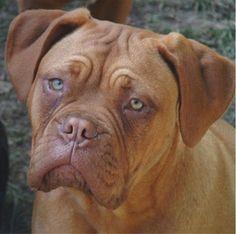 Dogue De Bordeaux - like Hooch from Turner and Hooch. I want one!!!