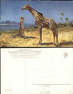 Artist signed MULLER giraffes ca. 1910 postcard