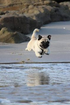 CANNONBALL!!!  Funny pug picture.