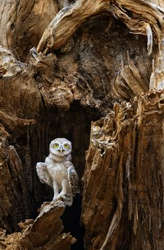 Photograph Spotted Owlet by Satie Sharma on 500px