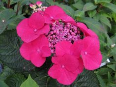 Hydrangea macrophylla 'Rotschwanz':