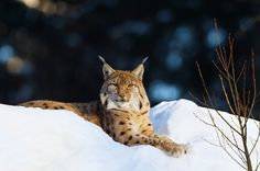 British conservationists are working to put the lynx back at the top of the food chain.