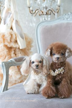 A Pair of Pampered Poodles.